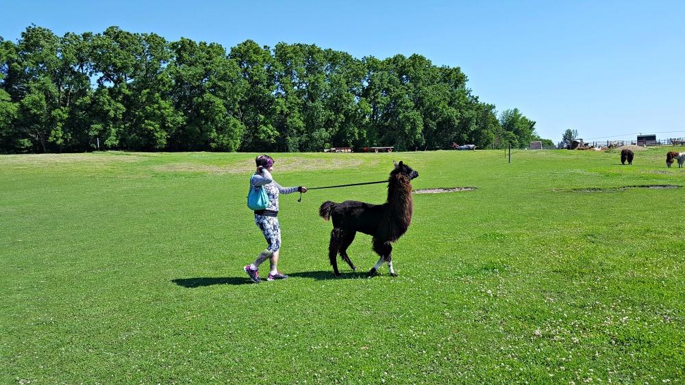 walking a llama